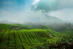 Campos do chá das montanhas de Cameron, Malásia Imagem de Stock
