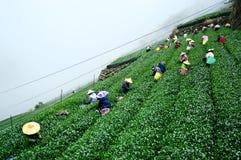 Campos do chá de Alishan imagem de stock
