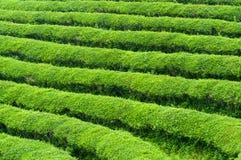 Campos do chá de Boseong imagem de stock