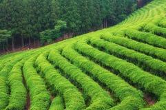 Campos do chá de Boseong fotos de stock royalty free