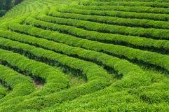 Campos do chá de Boseong fotos de stock