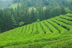 Campos do chá de Boseong foto de stock royalty free