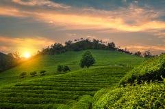 Campos do chá de Boseong fotografia de stock