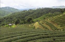 Campos do chá em Mae Salong Chiang Rai, Tailândia Fotografia de Stock Royalty Free