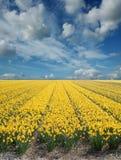 Campos do Daffodil fotos de stock