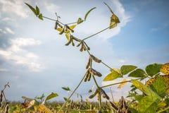 Campos do feijão de soja Foto de Stock