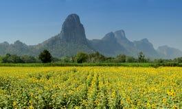 Campos do girassol, Lopburi, Tailândia Fotos de Stock Royalty Free