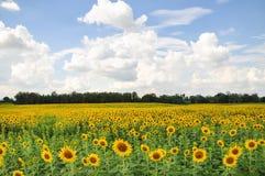 Campos do girassol na flor completa foto de stock