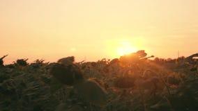 Campos do girassol na luz morna da noite Vídeo no movimento da janela de carro Girassóis no por do sol no sol video estoque