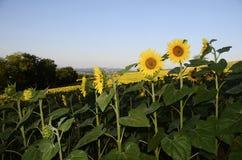Campos do girassol no couve-de-milão, França foto de stock royalty free