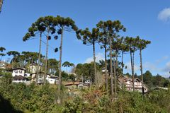 Campos do Jordão. Araucaria tree typical of the region of Campos do Jordao, in the mountain region Royalty Free Stock Photography