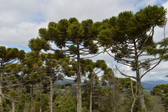 Campos do Jordao. Trees typical of the region of Campos do Jordao, on a cloudy day Stock Images