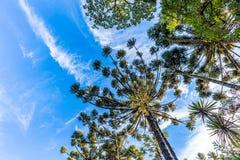 Campos do Jordao, Brazil. Araucaria tree, very tipical in the cit. Campos do Jordao, Brazil. Araucaria tree, very tipical in the region Stock Image