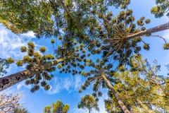 Campos do Jordao, Brazil. Araucaria tree, very tipical in the cit. Campos do Jordao, Brazil. Araucaria tree, very tipical in the region Royalty Free Stock Photography