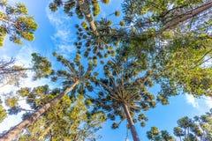 Campos do Jordao, Brazil. Araucaria tree, very tipical in the cit. Campos do Jordao, Brazil. Araucaria tree, very tipical in the region Stock Photography