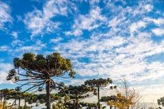 Campos do Jordao, Brazil. Araucaria tree, very tipical in the cit. Campos do Jordao, Brazil. Araucaria tree, very tipical in the region Stock Photo