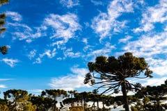 Campos do Jordao, Brazil. Araucaria tree, very tipical in the cit. Campos do Jordao, Brazil. Araucaria tree, very tipical in the region Stock Images
