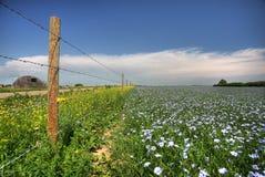 Campos do linho em Saskatchewan Imagens de Stock Royalty Free