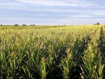 Campos do milho Imagem de Stock