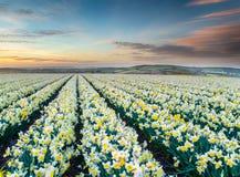 Campos do narciso amarelo fotografia de stock