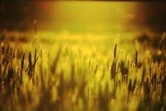 Campos do ouro Fotos de Stock