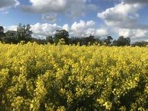 Campos do ouro - colza em Shropshire na mola fotos de stock