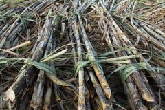 Campos do Sugarcane Foto de Stock