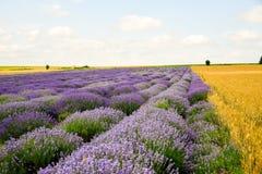 Campos do trigo e da alfazema foto de stock