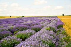 Campos do trigo e da alfazema fotos de stock royalty free
