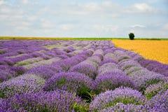 Campos do trigo e da alfazema imagens de stock