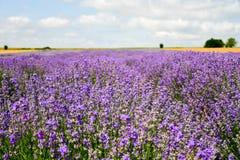 Campos do trigo e da alfazema imagens de stock royalty free