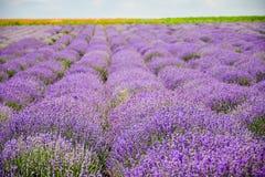 Campos do trigo e da alfazema fotos de stock