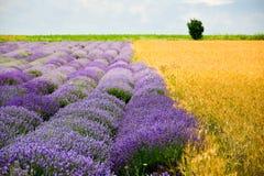 Campos do trigo e da alfazema fotografia de stock royalty free