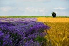 Campos do trigo e da alfazema fotografia de stock