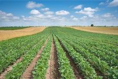 Campos do trigo e do feijão de soja Imagens de Stock Royalty Free
