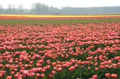 Campos do Tulip fotos de stock