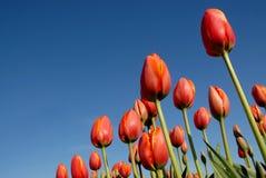 Campos do Tulip Imagens de Stock Royalty Free
