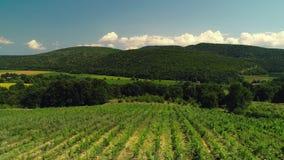Campos do vinhedo no campo, vídeo aéreo bonito durante o por do sol vídeos de arquivo