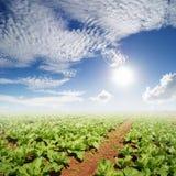 Campos dos vegetais e céu de Sun para a vida da suficiente economia Copie o espaço imagem de stock royalty free