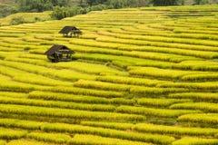 Campos dourados do arroz Fotos de Stock Royalty Free