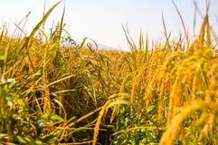 Campos dourados do arroz no tempo de colheita Fotos de Stock Royalty Free