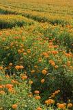 Campos dourados do marigold (2) Fotos de Stock Royalty Free