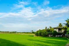 Campos e céu verdes do arroz Imagem de Stock
