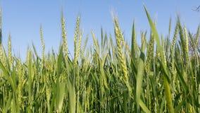 Campos e colheitas de trigo imagem de stock royalty free