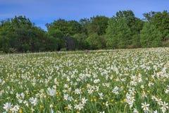 Campos e floresta do narciso amarelo na mola Imagens de Stock