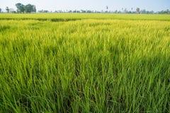 Campos e luz do sol do arroz Fotos de Stock Royalty Free