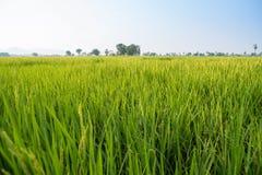 Campos e luz do sol do arroz Imagem de Stock