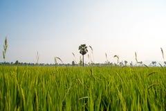 Campos e luz do sol do arroz Imagem de Stock Royalty Free
