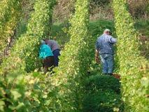 Campos em Moezel, Alemanha do vinho Fotos de Stock Royalty Free