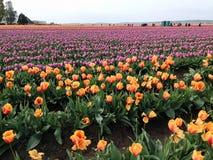 Campos enormes de los tulipanes brillantemente coloreados de la primavera Imagen de archivo libre de regalías